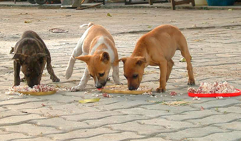 Hungry puppies Chiang Mai…