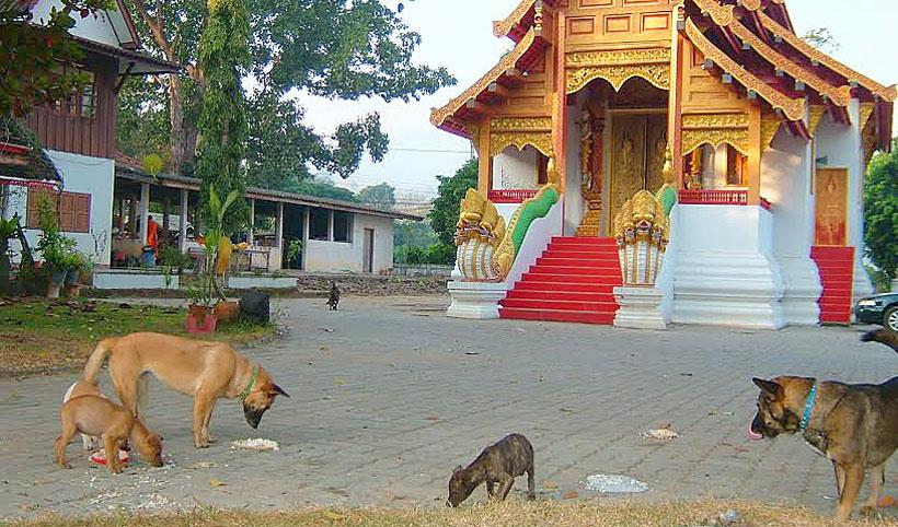Temple feeding Chiang Mai