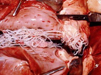 800px-Dirofilaria-immitis-dog-heart